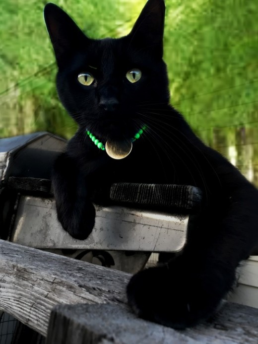 A gorgeous black cat