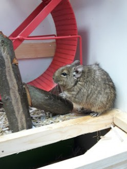 Degu, adoption to two very amusing pets