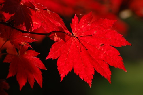 The bright red autumn foliage of Japanese Acer Japonicum Vitofolium.
