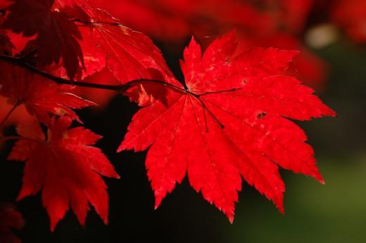 The bright red autumn foliage of Japanese Acer Japonicum Vitofolium.