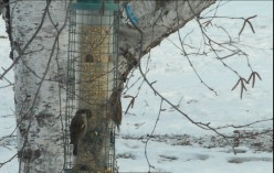 Minnesota Birding: Attracting Birds to Your Home Place