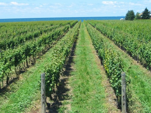 Ontario Vineyard