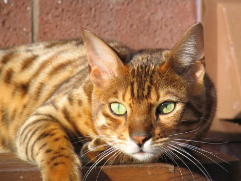 Domestic Bengal Cat