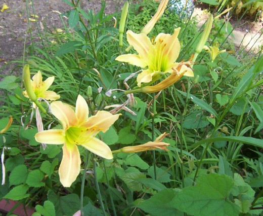 Yellow Daylily (photo by Dolores Monet)