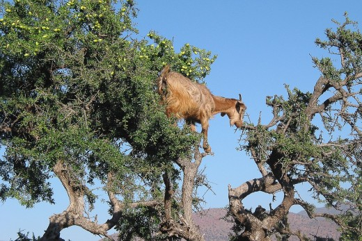 A goat or two in the argan tree is a common sight in the Moroccan desert and are important to making argan oil.