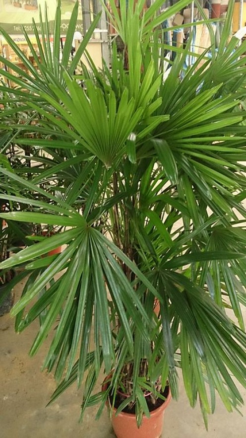 Lady Palm (Rhapis excelsa) can be used as a house plant to reduce indoor air pollution.