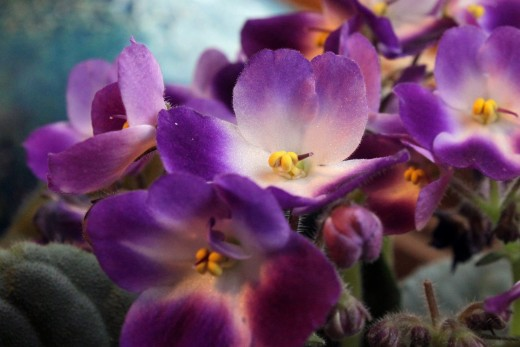 African violets are a pretty indoor potted plant that also clean your air.