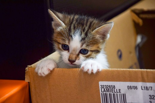 Playful and inquisitive; a month-old kitten peeks out of a box.