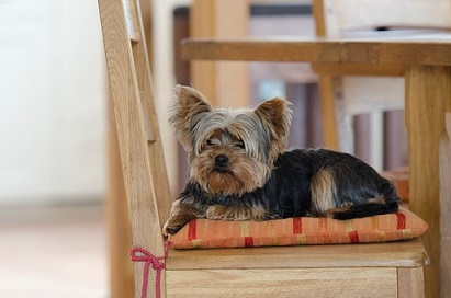Yorkies are a great pet and very easy to care for.