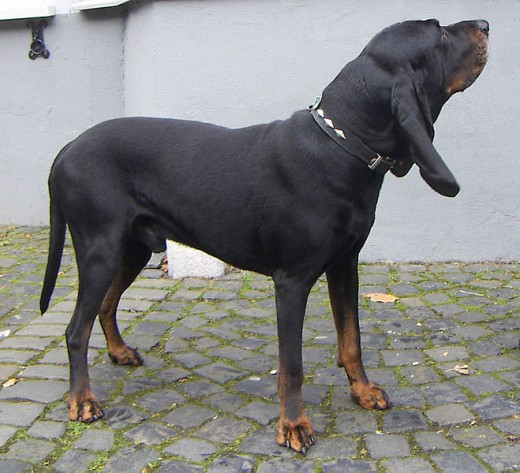 https://commons.wikimedia.org/wiki/File%3ABlack_and_Tan_Coonhound.jpg sa/2.5)], via Wikimedia Commons
