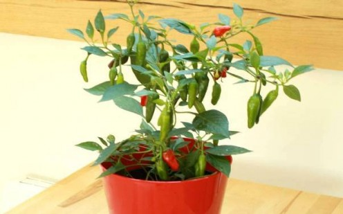 Green chili plant