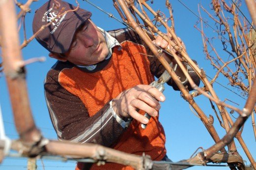 Grapevine pruning during winter to improve the quality of yield.