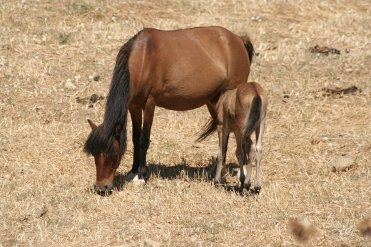 Mother and foal. This type of pony is only found on Skyros, Greece.