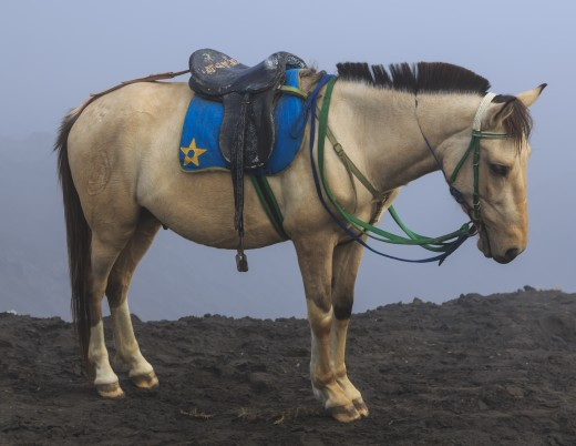 Bromo Tengger Semeru National Park, East Java, Indonesia: A Java Pony (Equus ferus caballus), resting at the 250 steps after bringing a customer from the jeep parking area to the volcano.