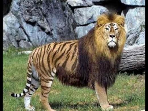 The Liger (Lion-Tiger Hybrid) Phenotype
