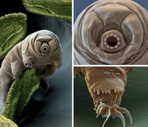 Water Bear-a microscopic Phenotype