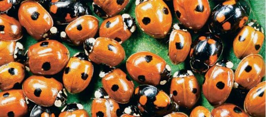 Phenotypic variaton in Dots and Color among Lady Bird Beetles