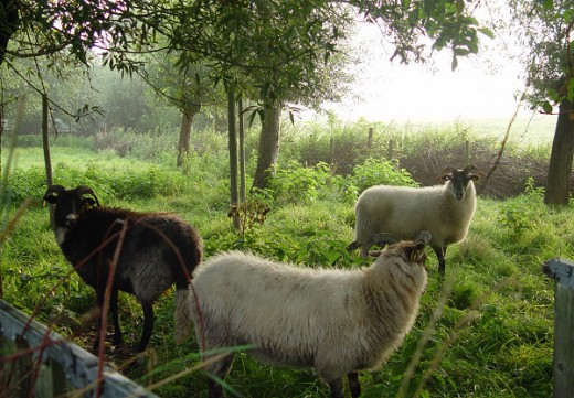 Drenthe Heath Sheep Ewes