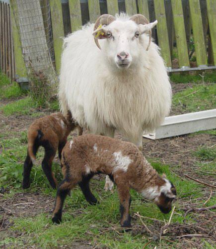 Multicolored sheep