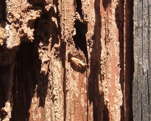 A worker termite