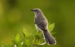 Mockingbird's Serenade