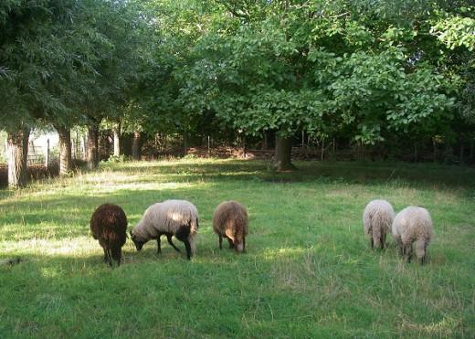 Walnut tree in sheep meadow