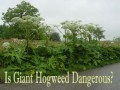 * Is Giant Hogweed Dangerous?
