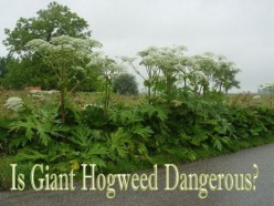 Giant Hogweed: How Safe Is It ?- How to Handle the Plant