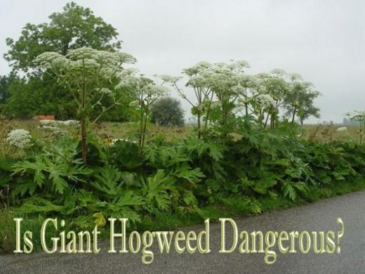 Is Giant Hogweed Dangerous?