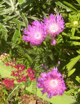 Pin cushion flower or scabiosa (photo by Dolores Monet)