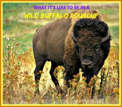What Is It Like to Be in a Wild Buffalo Roundup?