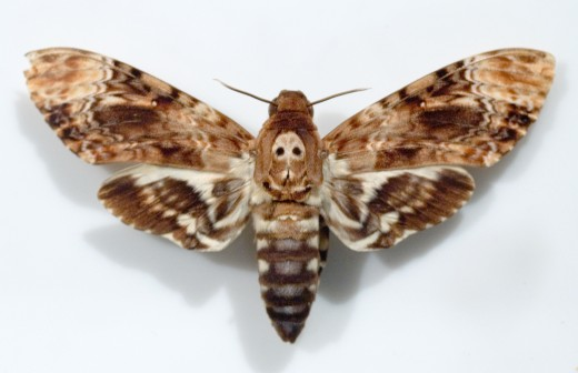 The death's head hawk moth might be coming to you as a representation of your old way of life coming to an end and a new beginning right around the corner.