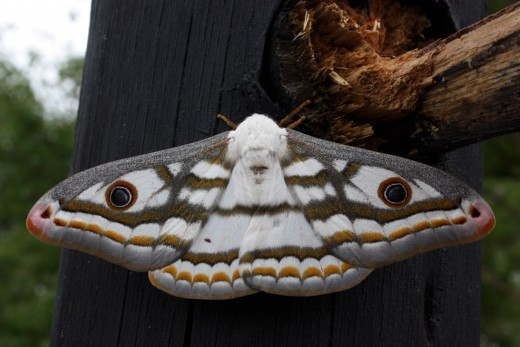 The marbled emperor moth is beautiful to behold.