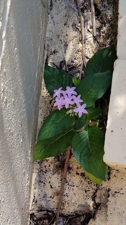 Humble but lovely and strong is this little weed grwoing in a crack off the patio