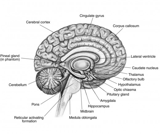 the importance of your medulla oblongata