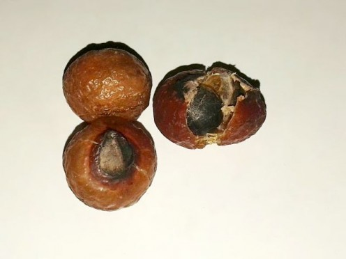 Mature soap nuts.