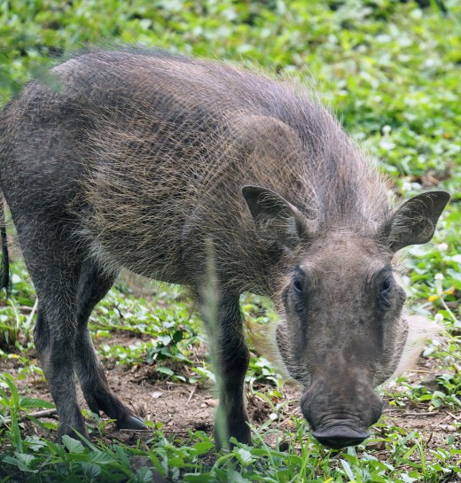 Young warthog Phacochoerus africanus. Warthogs are one of my favourite African animals with their comical trot, flicking tails and sociable nature. Photo: Di Robinson