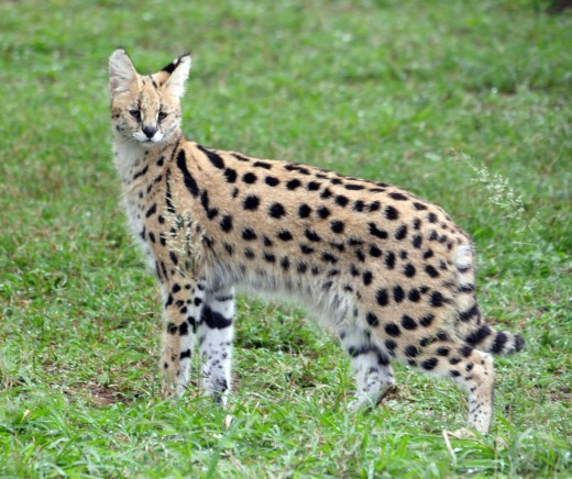 The lovely serval has the longest legs of any cat in proportion to its size. Photo: Matt Feierabend