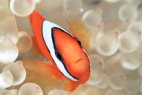 The Tomato Clownfish. Another cheap clownfish that is commonly available.