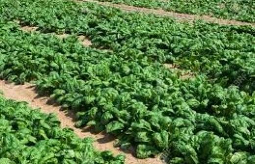 Spinach farm