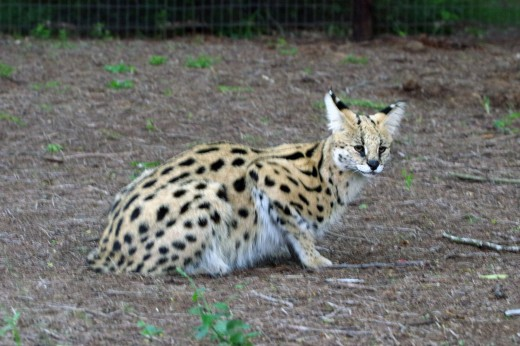 The adaptable serval has a varied diet and can survive in different habitats. Photo: Matt Feierabend
