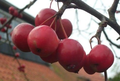 Crabapple Tree fruits - Malus Red Sentenial