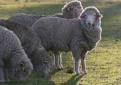 Wool follicles