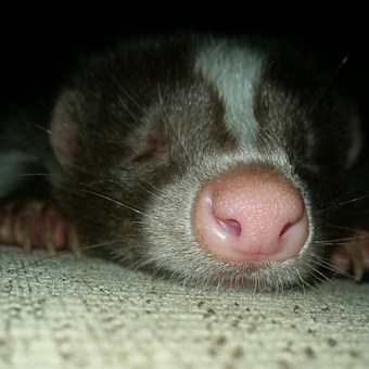 The skunk can be an incredibly loyal and affectionate pet.