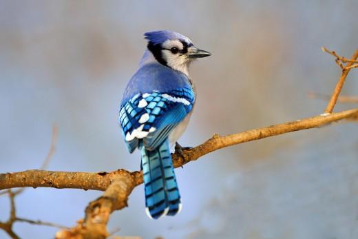 پرندگان زیبا Bluejay