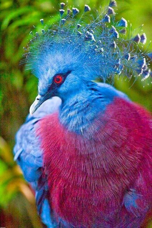 پرندگان زیبا Victoria crowned pigeon