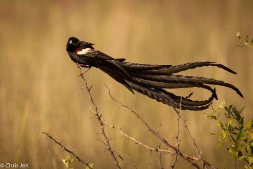 Long tailed widowbird