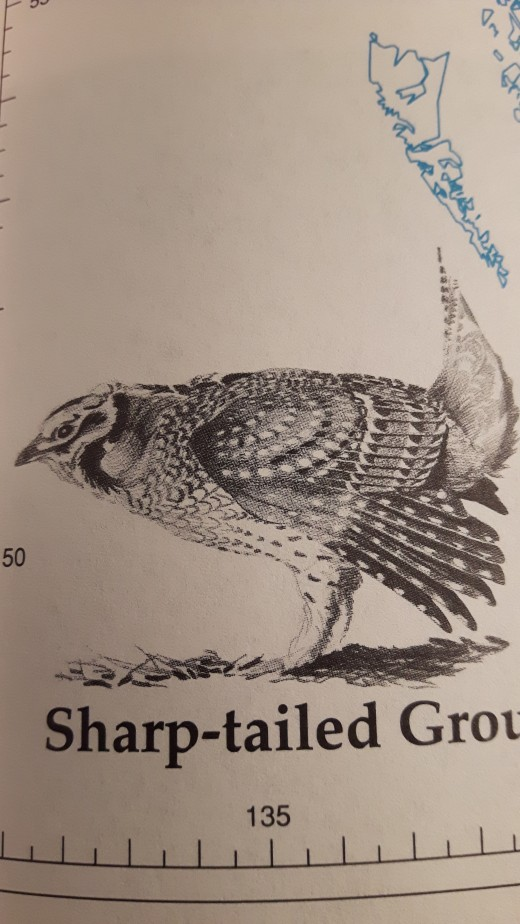 A picture of a Sharp-Tailed Grouse