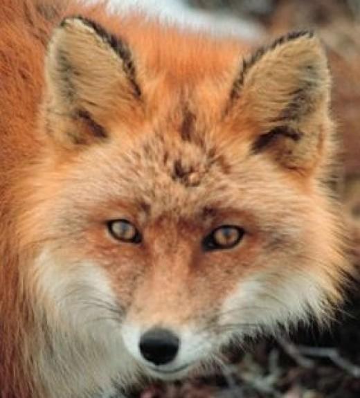 Fox Public domain image Wikipedia Commons