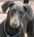 Understanding Blue Doberman Syndrome